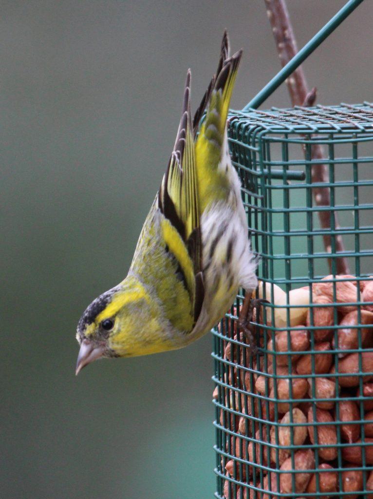 Siskin on a garden feeder